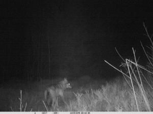 Wolf_Nachtaufnahme